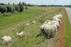 Beweiding leidt tot verschillen in vegetatiestructuur (EurECO)