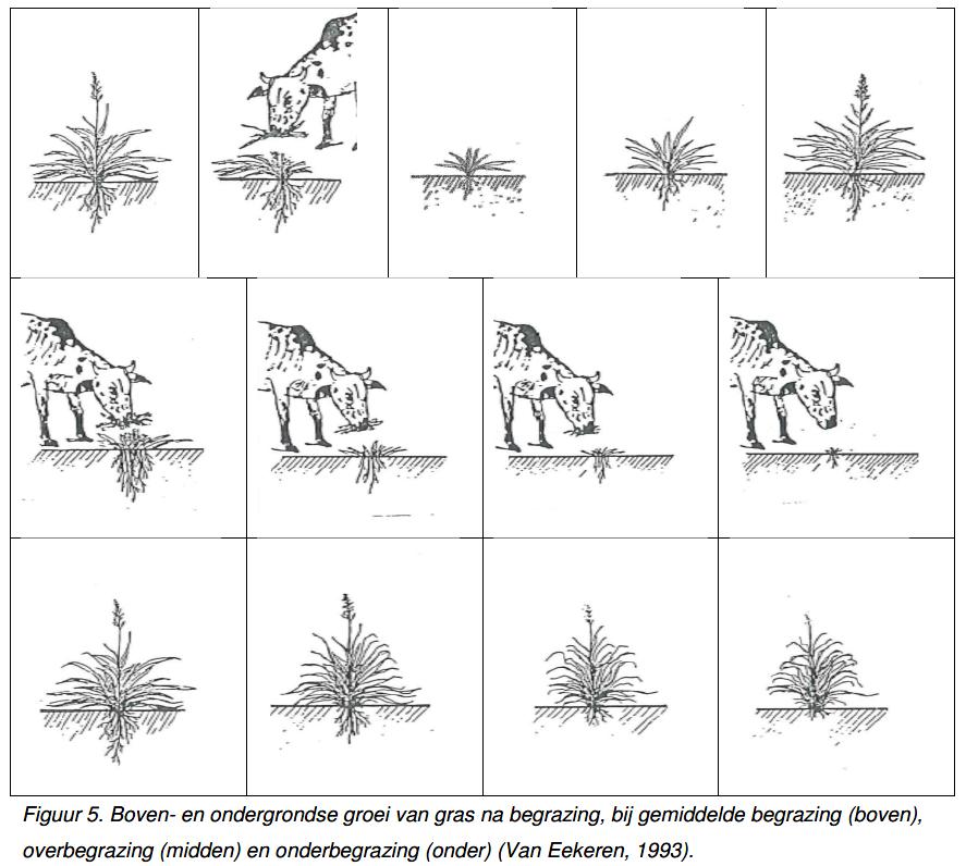 Boven- en ondergrondse groei van gras na begrazing bij gemiddelde-over-onderbegrazing (Van Eekeren, 1993)