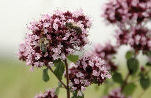 Wilde marjolein met bijen (EurECO)
