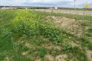 Resultaat inzaai met D2 op IJsseldijk (Eureco)