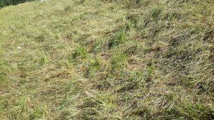 Intensief beweid te lang gras is gaan liggen (WSRL)