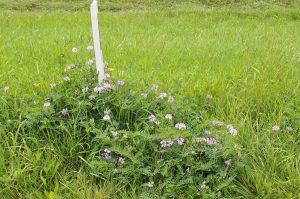 Maaibeheer om wegmeubilair minder intensief gemaaid: vestiging van maaigevoelige soort Bont kroonkruid (EurECO)
