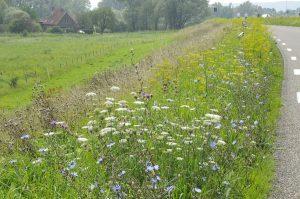 Berm vroeg gemaaid: staat opnieuw te bloeien nu overige vegetatie is uitgebloeid of gemaaid (EurECO)