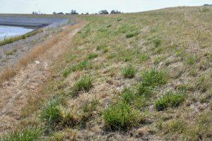 7. De dieper wortelende grassen blijven langer groen. Dit is Rietzwenkgras. (EurECO)