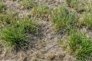 8. Rietzwenkgras is een pollenvormer. Tussen de pollen is de zode open. (EurECO)