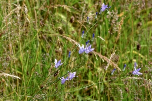 1 Kruidenrijke vegetatie met Rapunzelklokje (WAM)